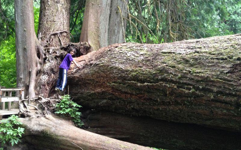 Kavehontree